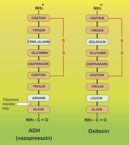 oxitocin és erekció merevedés és vágy az emberben