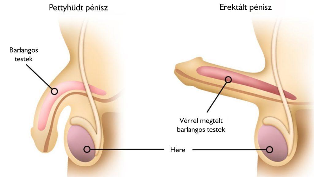 az erekció hiánya vagy lassú