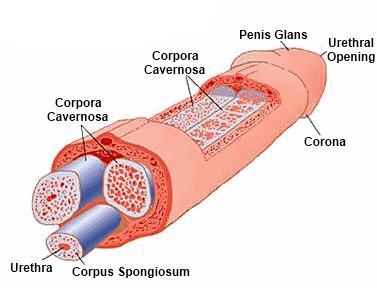 vér a péniszből az erekció során merevedés száraz fejjel