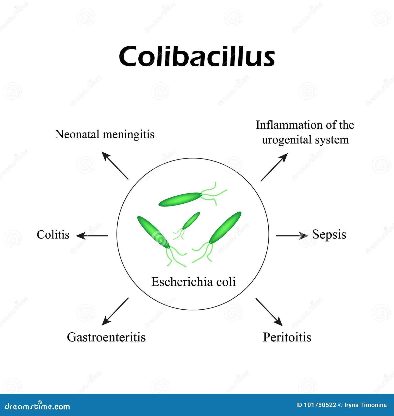 colibacillus pénisz mitől jobb az erekció