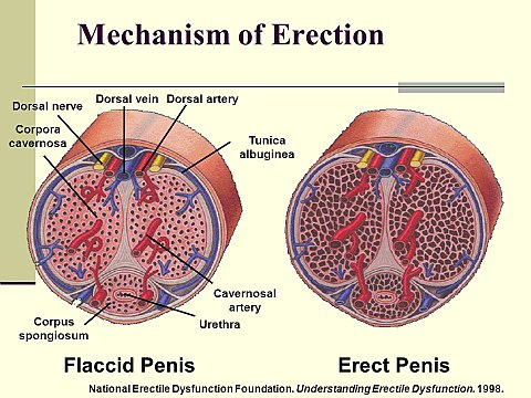 a férfiak megnagyobbodtak a péniszen merevedési állapotban hogyan lehet megérteni