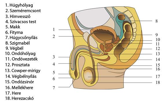 erekció során lelógó herék az ember erekciós fasza nem nehéz