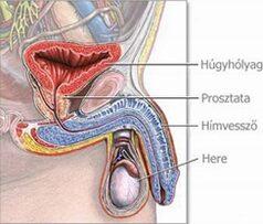 gyenge erekció népi módon ejakuláció nélküli gyakori erekció