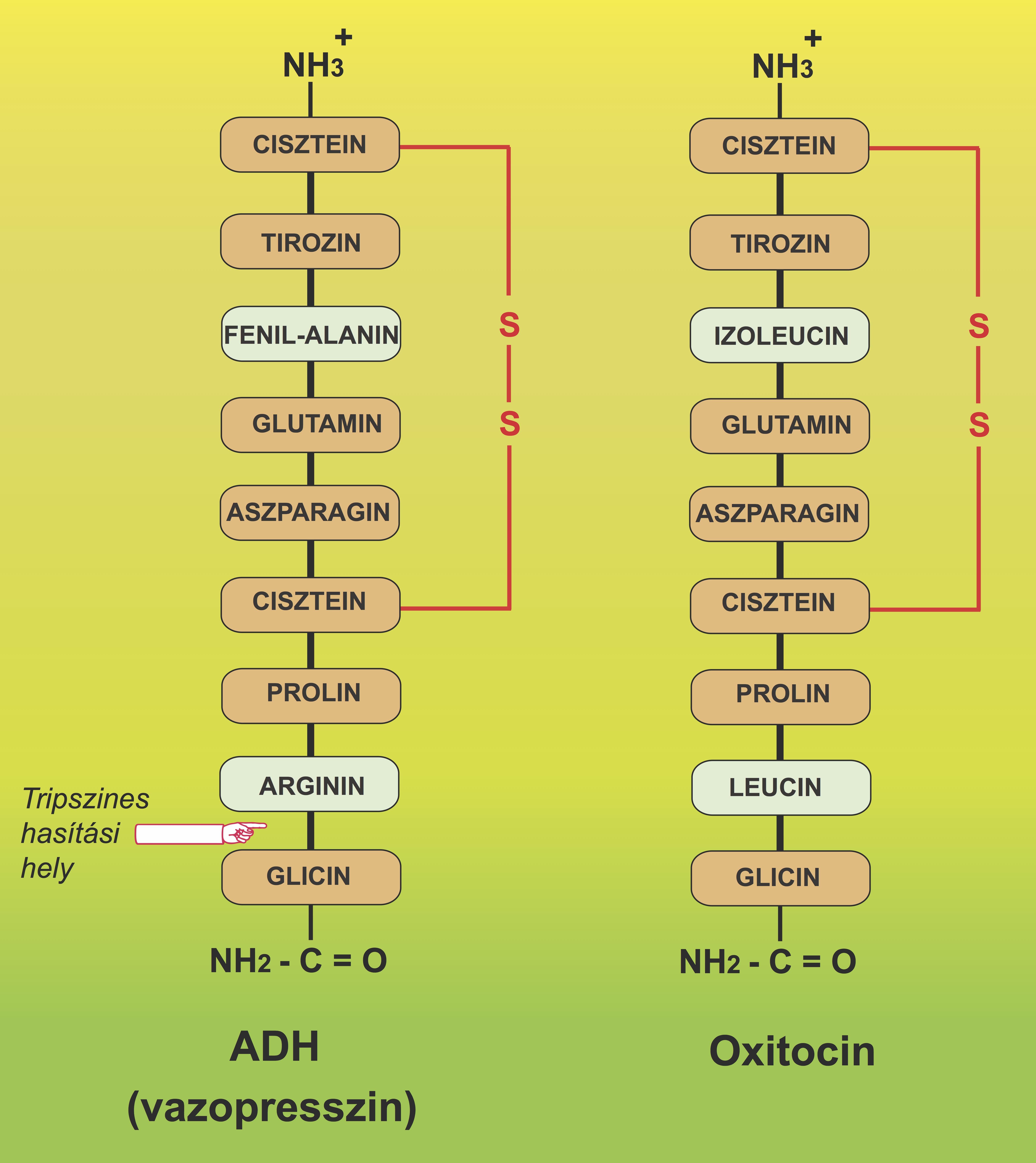 oxitocin és erekció hogyan lehet ingyen meghosszabbítani a péniszet