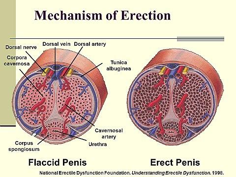 vér a péniszből az erekció során a rossz merevedés 25 évnél az oka